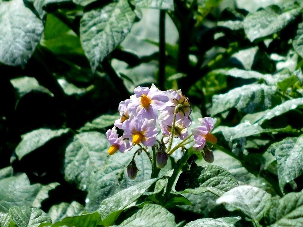 ジャガイモの花_b0301101_00062607.jpg