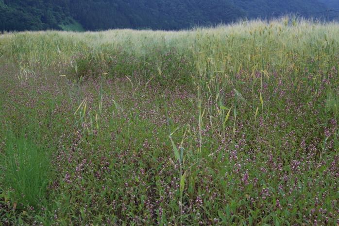 山の麦畑_b0178102_05405600.jpg