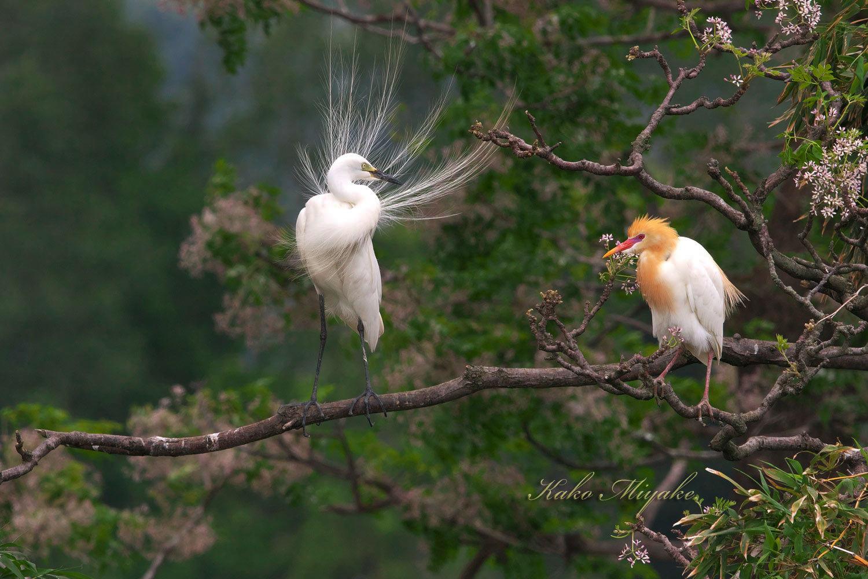 チュウサギ(Intermediate egret)とアマサギ(Cattle egret)_d0013455_21354925.jpg