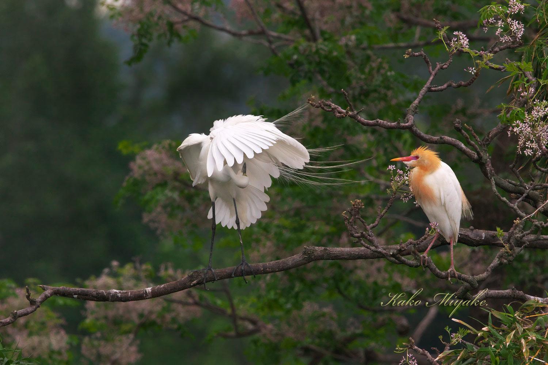 チュウサギ(Intermediate egret)とアマサギ(Cattle egret)_d0013455_21355367.jpg