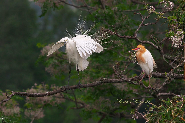 チュウサギ(Intermediate egret)とアマサギ(Cattle egret)_d0013455_21355955.jpg