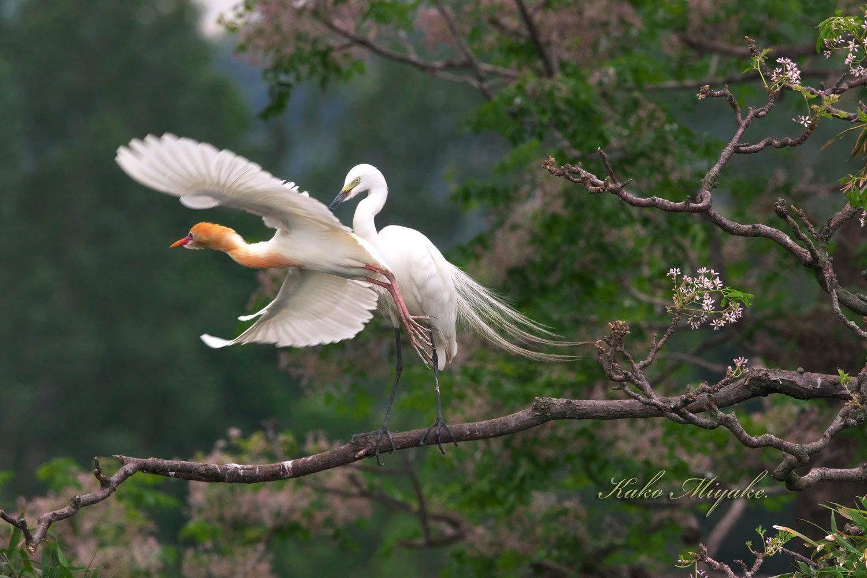 チュウサギ(Intermediate egret)とアマサギ(Cattle egret)_d0013455_21363959.jpg