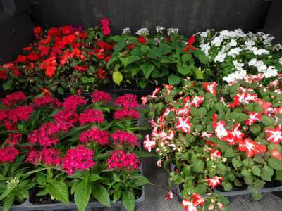 ガーデンふ頭総合案内所前花壇の植替えR3.5.24_d0338682_08570483.jpg