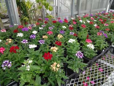 ガーデンふ頭総合案内所前花壇の植替えR3.5.24_d0338682_08582376.jpg