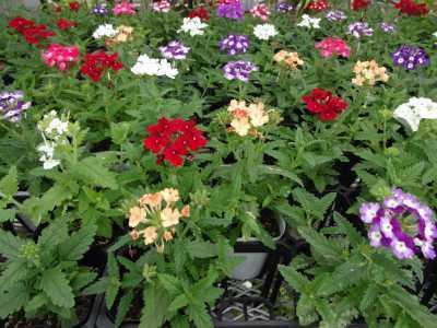 ガーデンふ頭総合案内所前花壇の植替えR3.5.24_d0338682_08583864.jpg