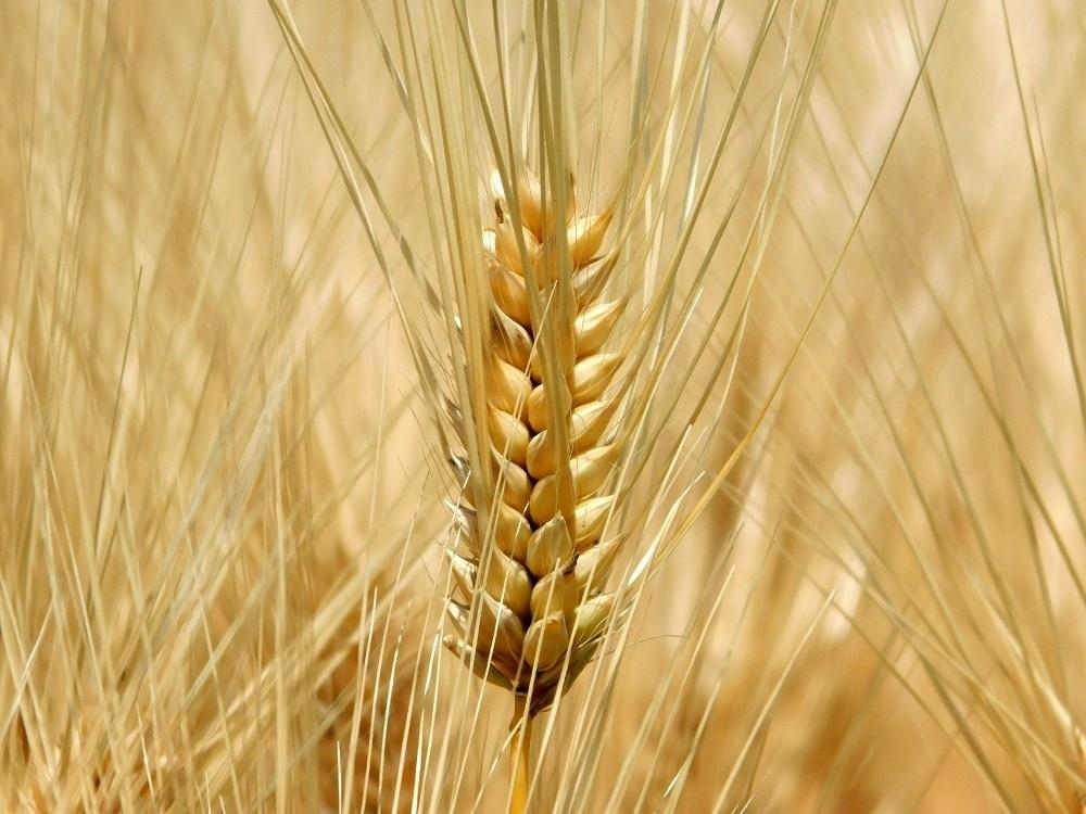 金麦の季節_b0301101_04042629.jpg