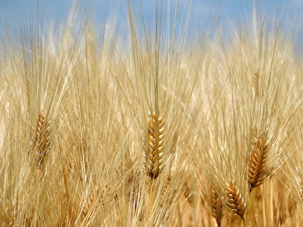 金麦の季節_b0301101_04043168.jpg
