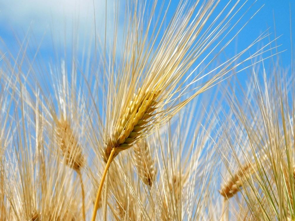 金麦の季節_b0301101_04043579.jpg