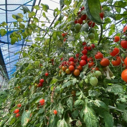 今日のこと 6月 30日!!完熟トマト再発売&COFFEA Origoさん!!_d0263607_10373637.jpg