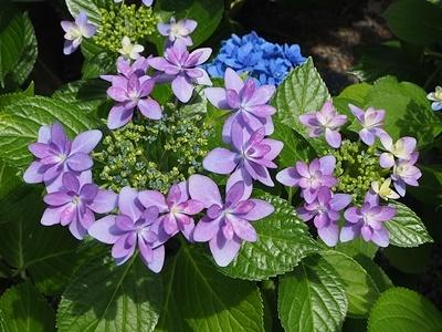 紫陽花がきれいです_f0129726_18352015.jpg