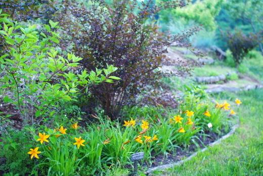 6月の庭(ヘメロカリス、アストランティア、イロハモミジ)_c0110869_12172007.jpg