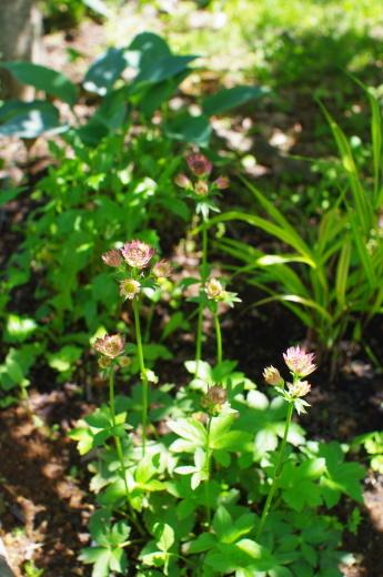 6月の庭(ヘメロカリス、アストランティア、イロハモミジ)_c0110869_12173768.jpg