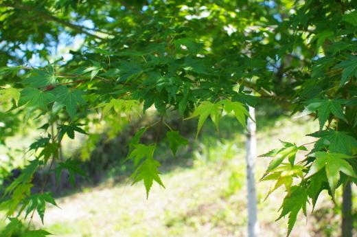 6月の庭(ヘメロカリス、アストランティア、イロハモミジ)_c0110869_12182142.jpg