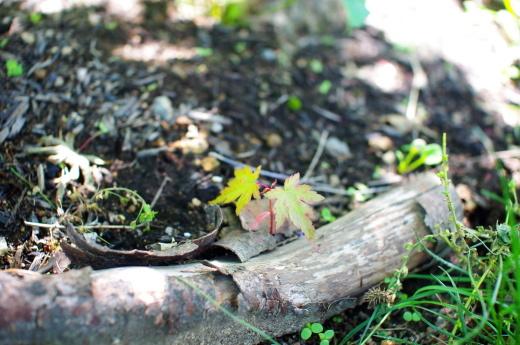 6月の庭(ヘメロカリス、アストランティア、イロハモミジ)_c0110869_12184080.jpg