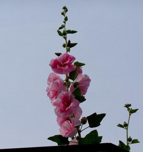 路傍の花、樹々の鳥(411) ~ 梅雨の花と言えば ・・・ ~_b0102572_16425727.jpg