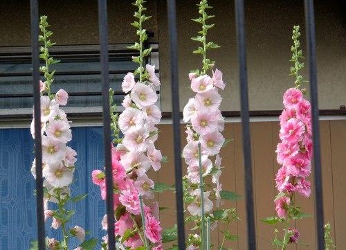 路傍の花、樹々の鳥(411) ~ 梅雨の花と言えば ・・・ ~_b0102572_16431267.jpg