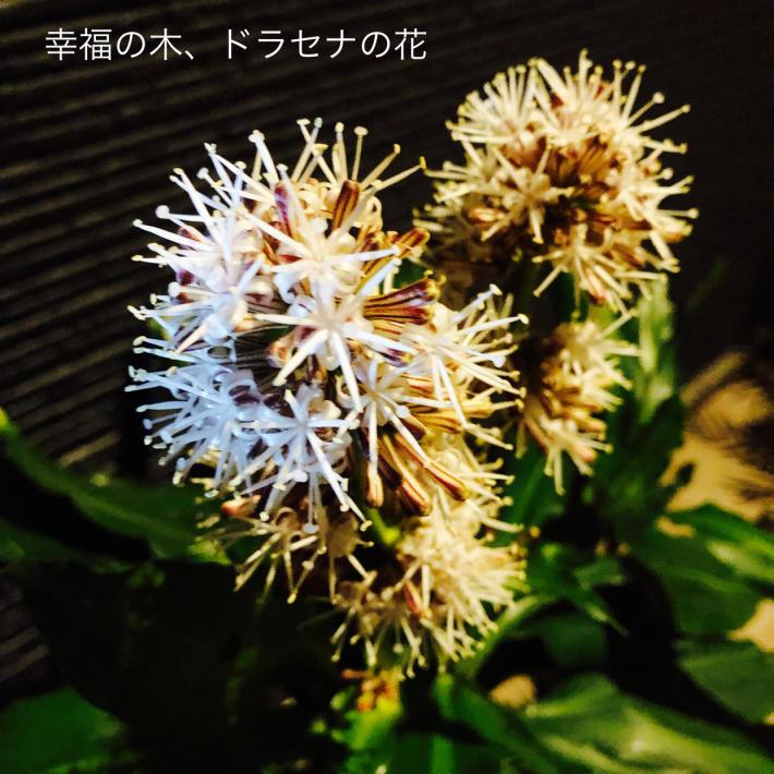 【自然日記】幸福の木、ドラセナの花、咲きました…E UlU Ē!!_e0397681_05250066.jpg