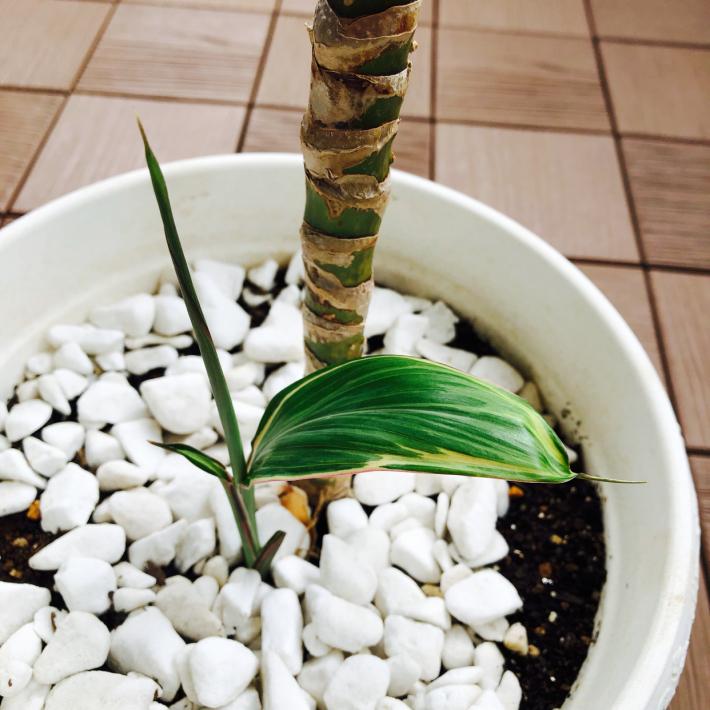 【自然日記】幸福の木、ドラセナの花、咲きました…E UlU Ē!!_e0397681_09123526.jpg