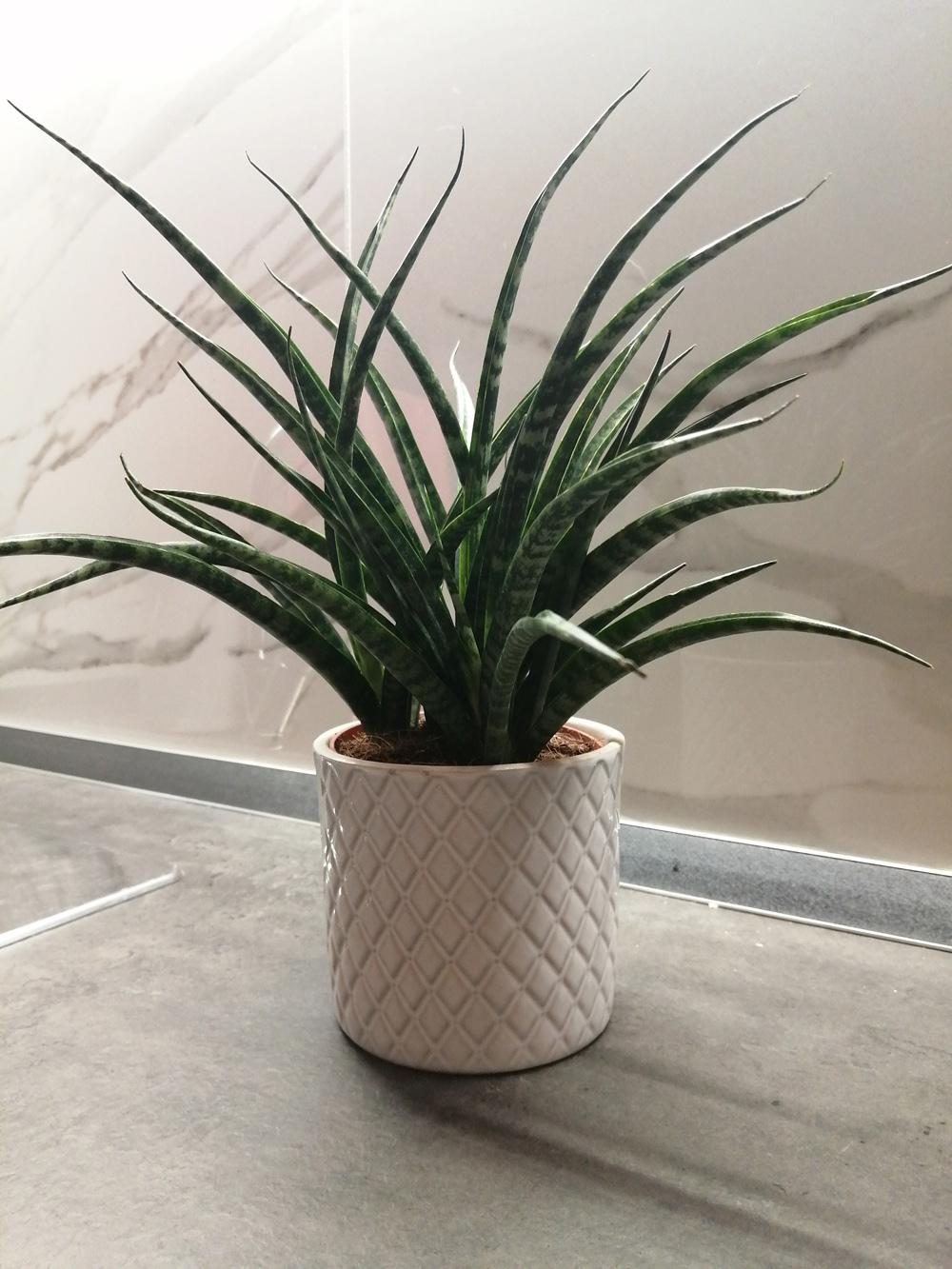 空気清浄効果のこの観葉植物で運気アップ!_c0179785_18443337.jpg