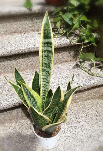 空気清浄効果のこの観葉植物で運気アップ!_c0179785_18535307.jpg