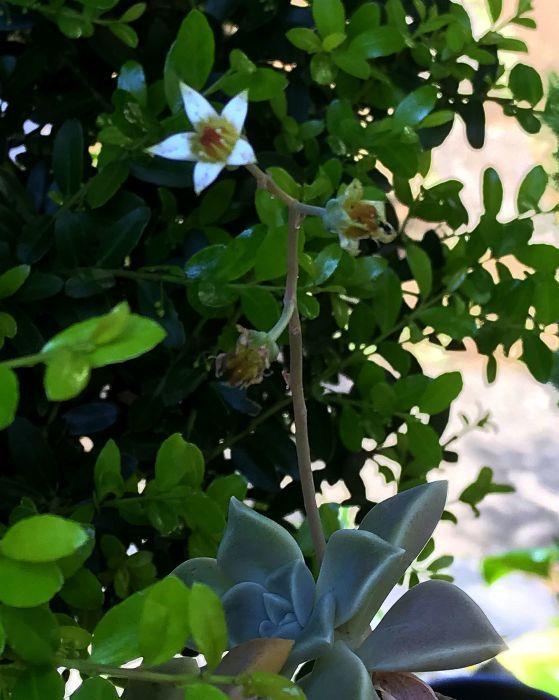 よくみる観葉植物?に花が咲いていた_a0163788_20170703.jpg