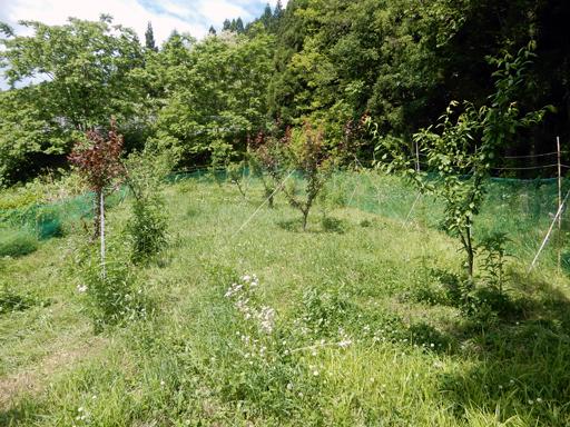 果樹の成長と初生り_d0366590_10471227.jpg