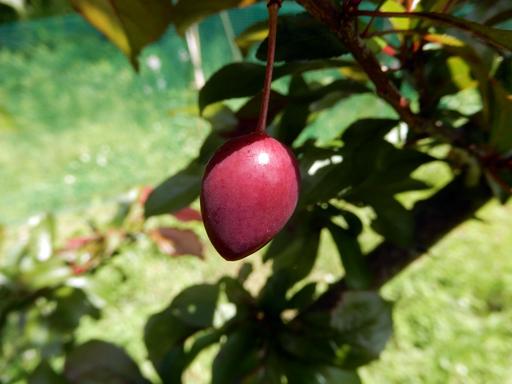 果樹の成長と初生り_d0366590_10480950.jpg