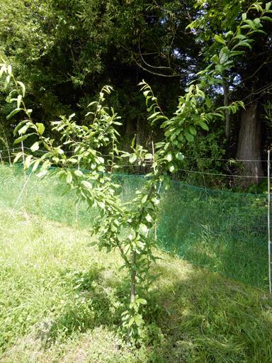 果樹の成長と初生り_d0366590_10500892.jpg