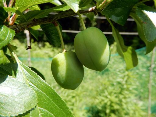 果樹の成長と初生り_d0366590_10500980.jpg
