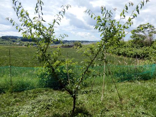 果樹の成長と初生り_d0366590_10593061.jpg
