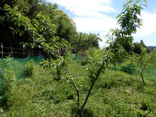 果樹の成長と初生り_d0366590_11015553.jpg