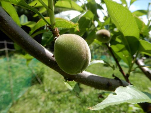 果樹の成長と初生り_d0366590_11015617.jpg