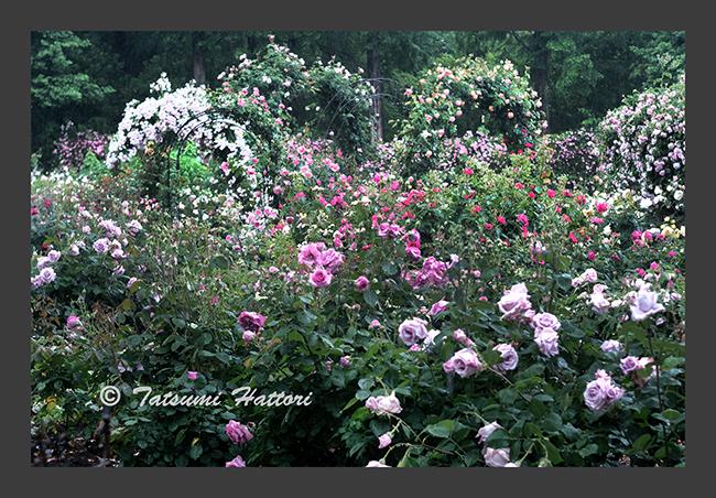 雨の日の薔薇たち 4_f0078127_17393678.jpg