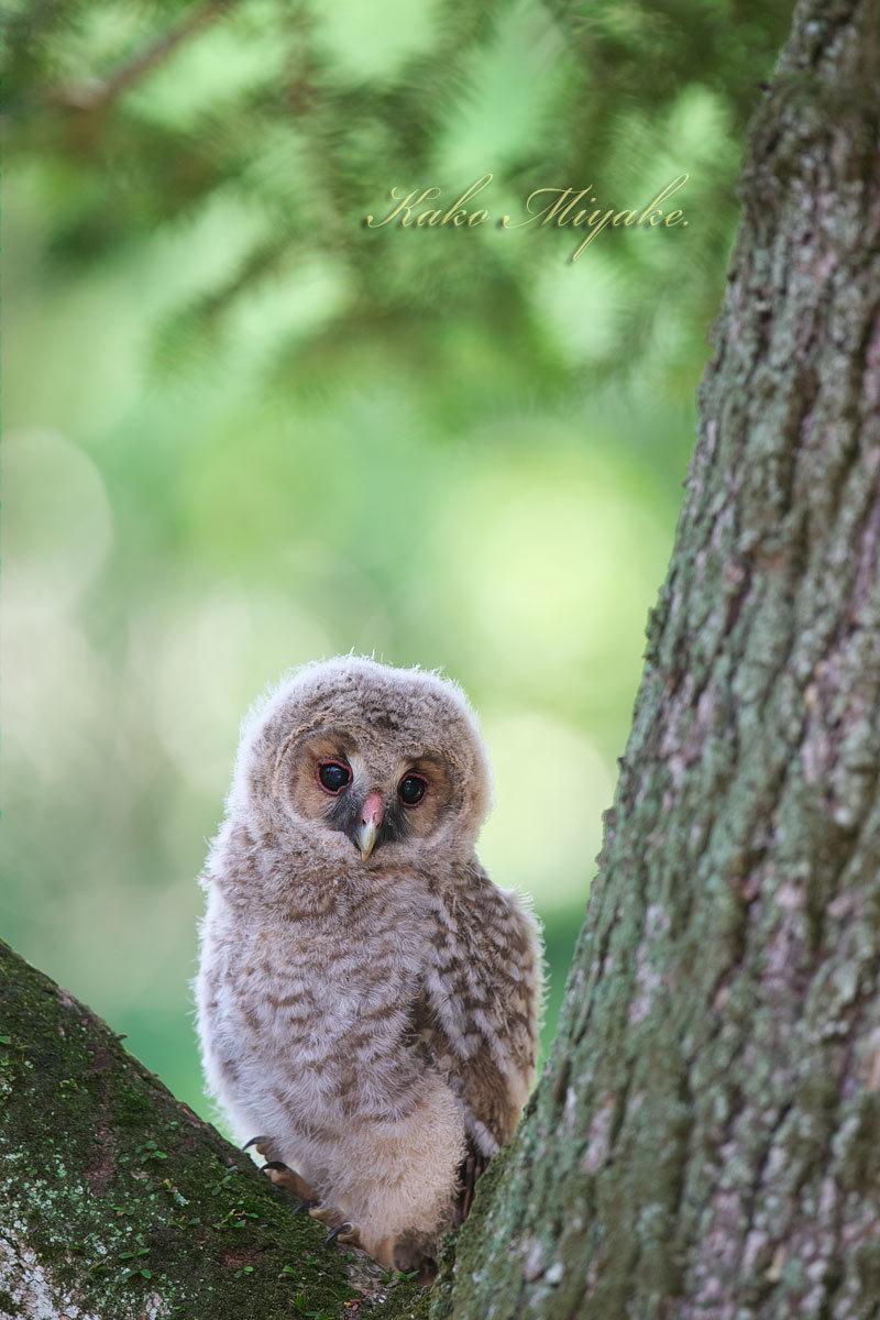 フクロウ(Ural owl)・・・2_d0013455_20455803.jpg