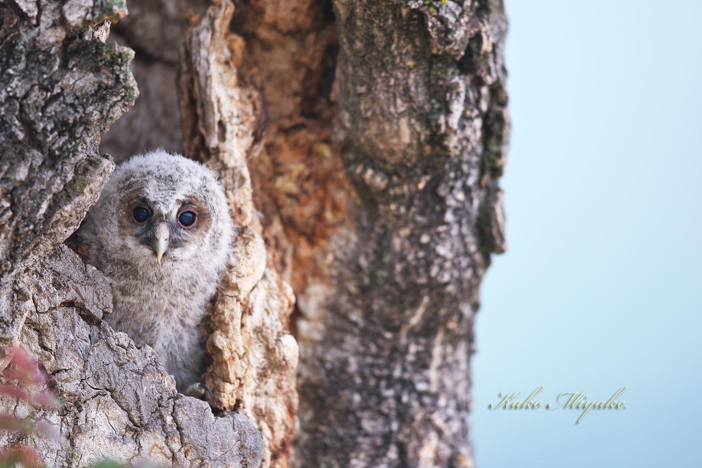 フクロウ(Ural owl)・・・2_d0013455_20505876.jpg