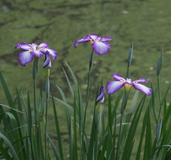 今朝は下池でヒナ10羽_c0155474_09145766.jpg