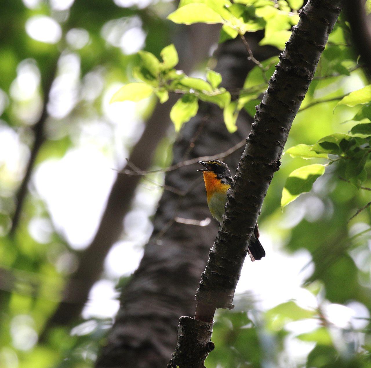 近くの山荘で出会ったキビタキ♂・・・_c0213607_18264353.jpg