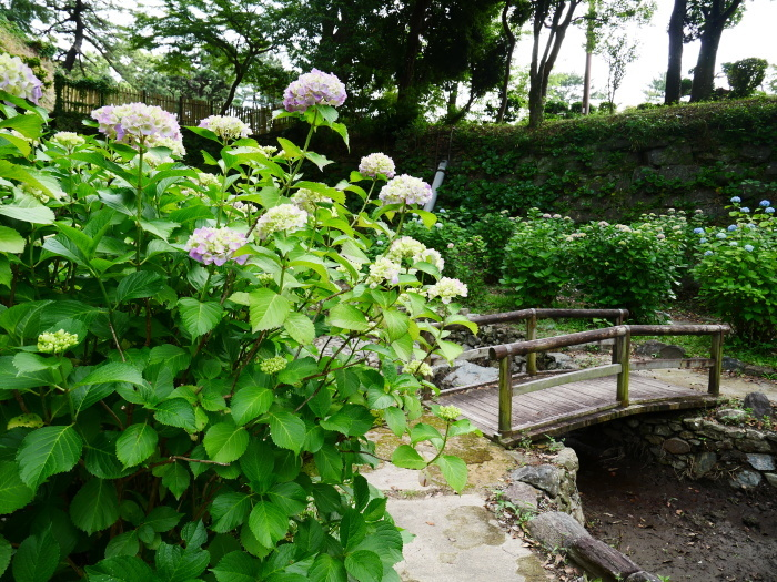 和歌山城アジサイ園  2021-06-06 00:00_b0093754_21411649.jpg