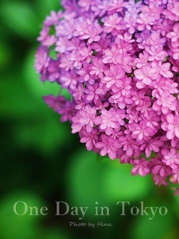 紫陽花にはやっぱり雨がお似合い_f0245680_14154680.jpg