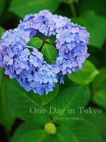 紫陽花にはやっぱり雨がお似合い_f0245680_14182977.jpg