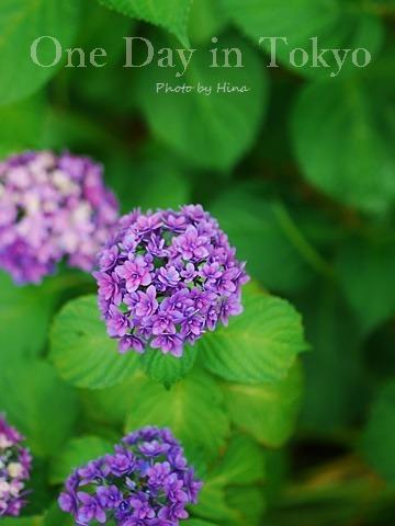 紫陽花にはやっぱり雨がお似合い_f0245680_14202843.jpg