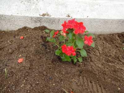 名古屋港水族館前花壇の植栽R3.6.2_d0338682_14573600.jpg