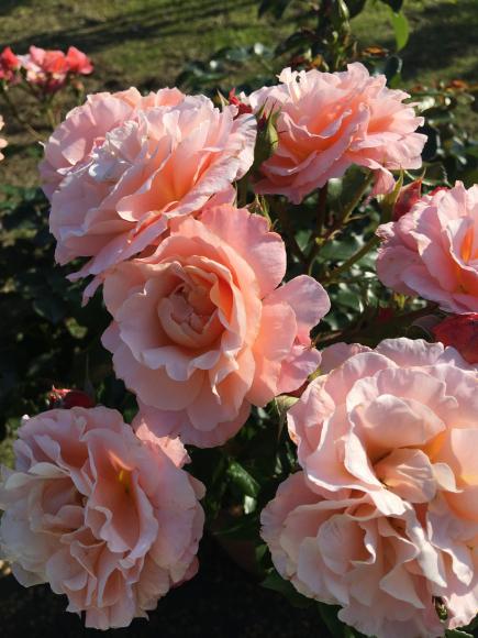 「RoseRose」ふんだんなお花の香りのブレンドが出来上がりました♡_f0399901_10591451.jpg