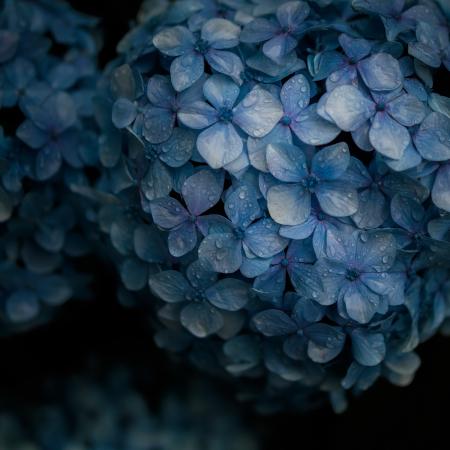 花のある風景 雨の日のアジサイ_b0133053_21365637.jpg