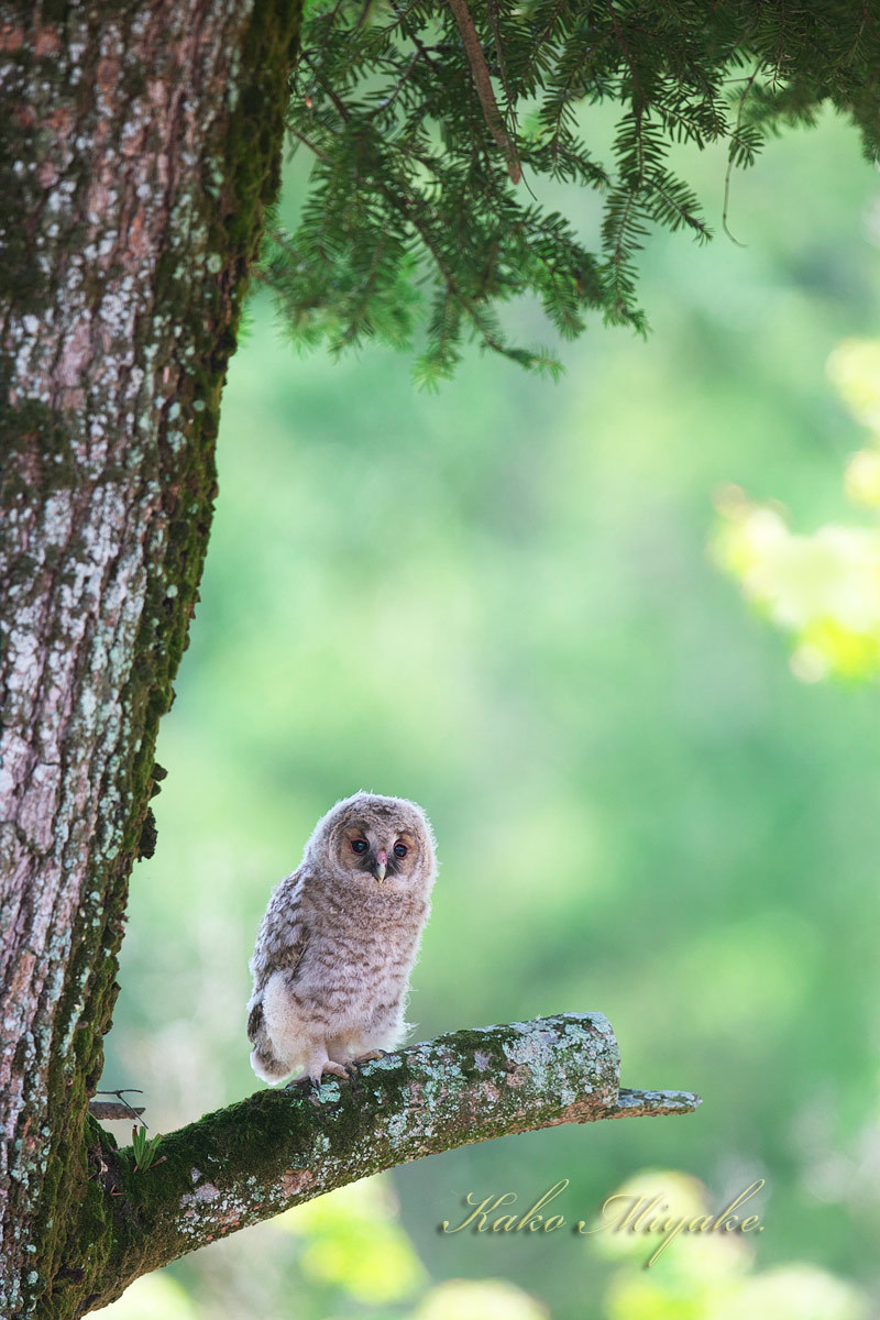 フクロウ(Ural owl)・・・3_d0013455_21515391.jpg