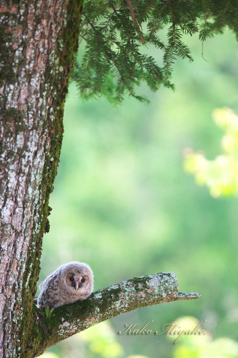 フクロウ(Ural owl)・・・3_d0013455_21520068.jpg