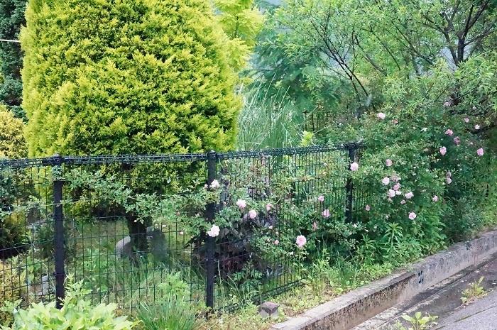 今年の薔薇は、、_e0365880_21365820.jpg
