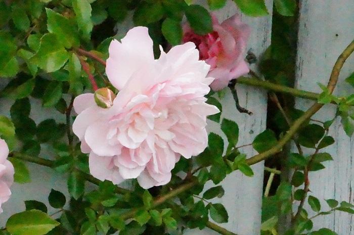 今年の薔薇は、、_e0365880_21371481.jpg