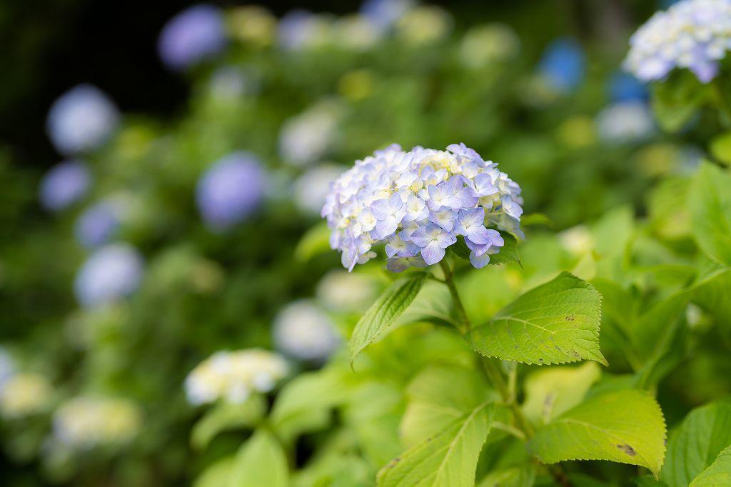 近所の紫陽花園へ_c0402484_20495727.jpg
