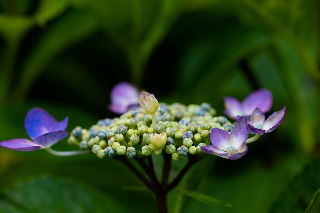 近所の紫陽花園へ_c0402484_20495732.jpg